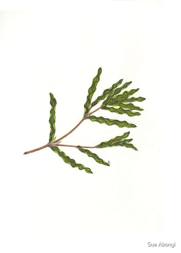 Curly-leaf Pondweed - Potamogeton crispus by Sue Abonyi