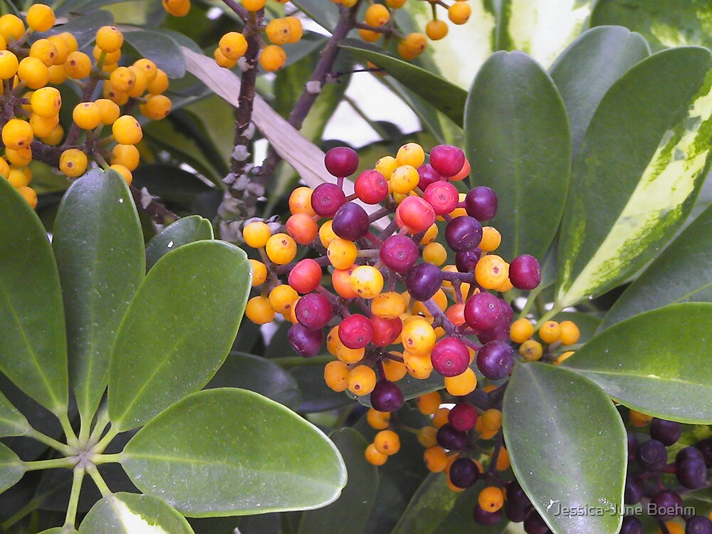 Berries In Full Colour by Jessica-June Boehm
