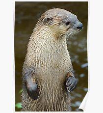 Canadian Otter Poster