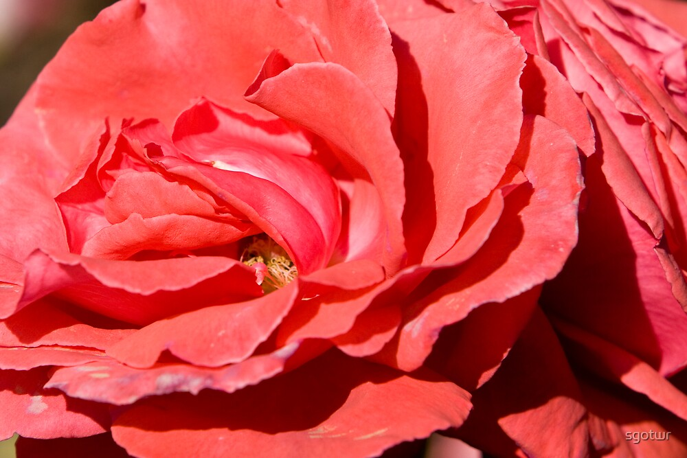 Red Rose by sgotwr