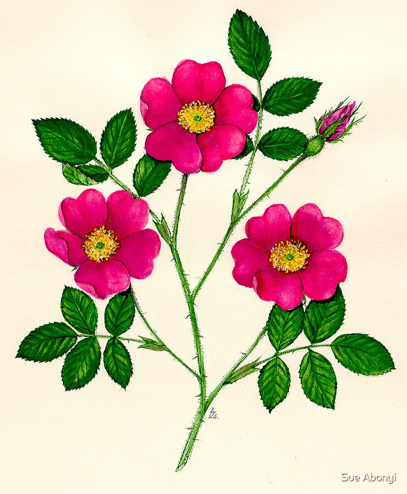 Rose of Provence - Rosa gallica by Sue Abonyi