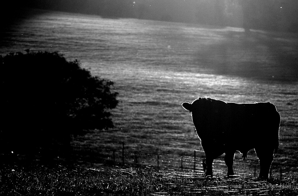 Cow and the cobweb carpet by Peter Hall