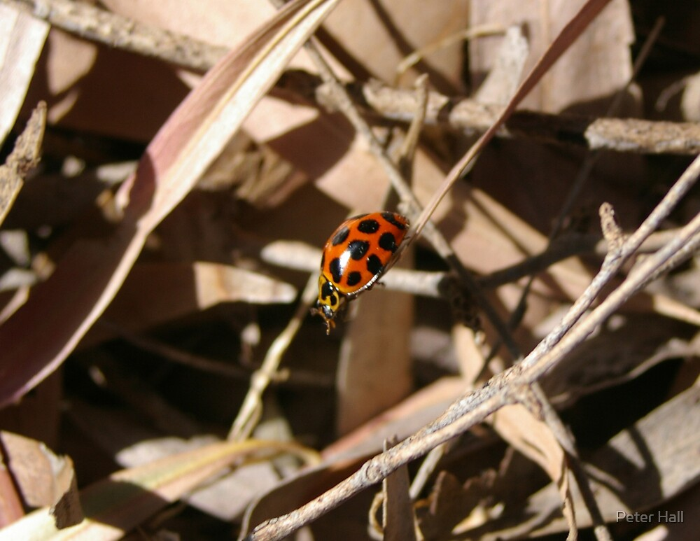 Lady bird. by Peter Hall