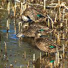 Ducks at rest by Rick Playle