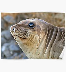 Young female Elephant Seal profile  Poster