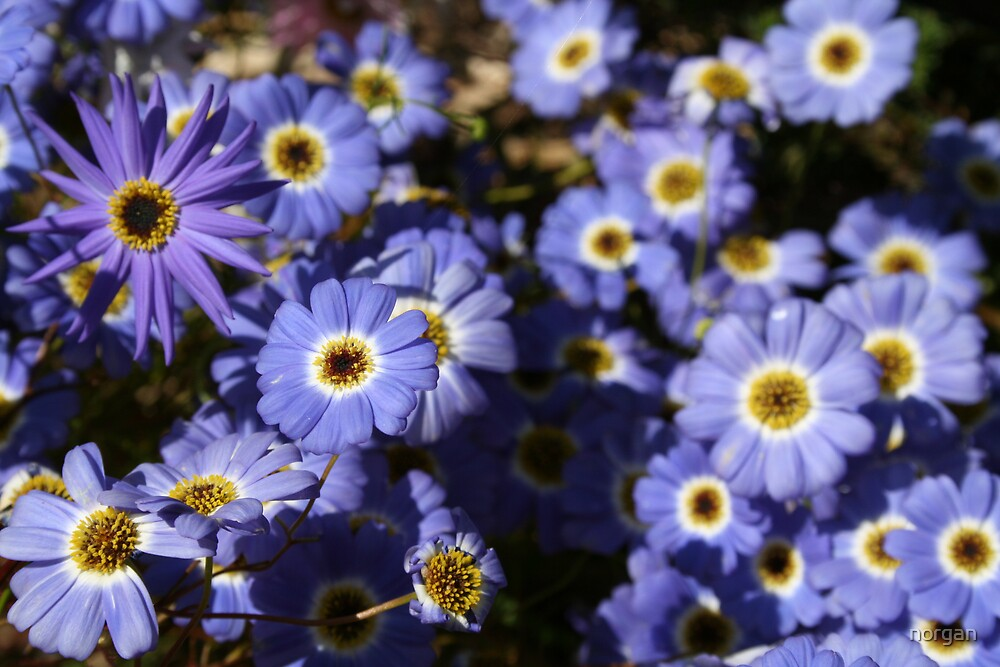 Purple Daisies by norgan