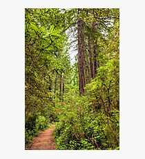 Redwoods Trail Photographic Print