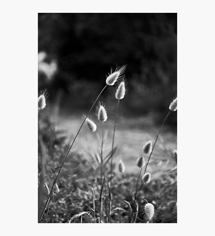 pussy willow grass Photographic Print