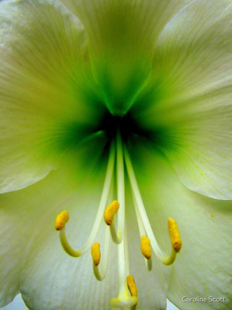 Hippeastrum in white by Caroline Scott