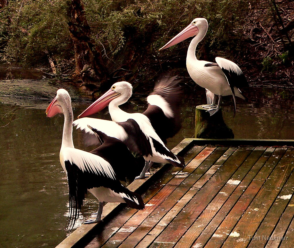 Pelicans at play by Tom Newman