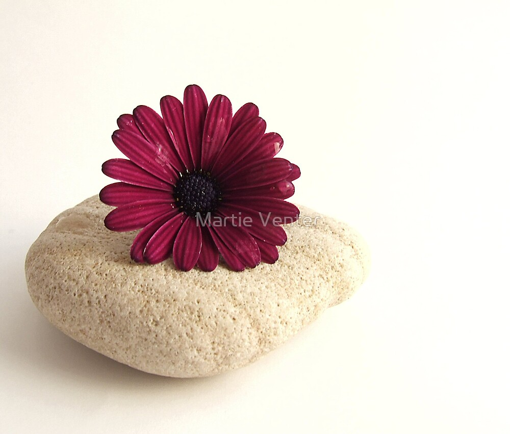 African Daisy on Stone by Martie Venter