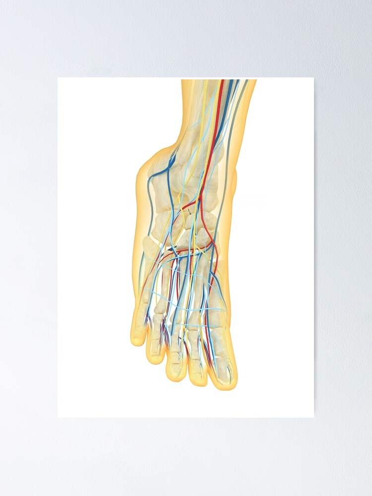 Human Foot With Nervous System Lymphatic System And Circulatory System Poster By Stocktrekimages Redbubble