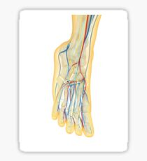 Human foot with nervous system, lymphatic system and circulatory system. Sticker