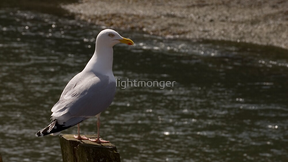 Ever Watchful Gull by lightmonger