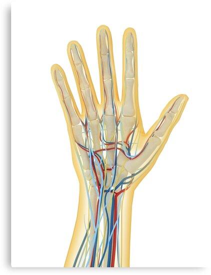 Lienzos «Mano humana con sistema nervioso, sistema linfático y ...
