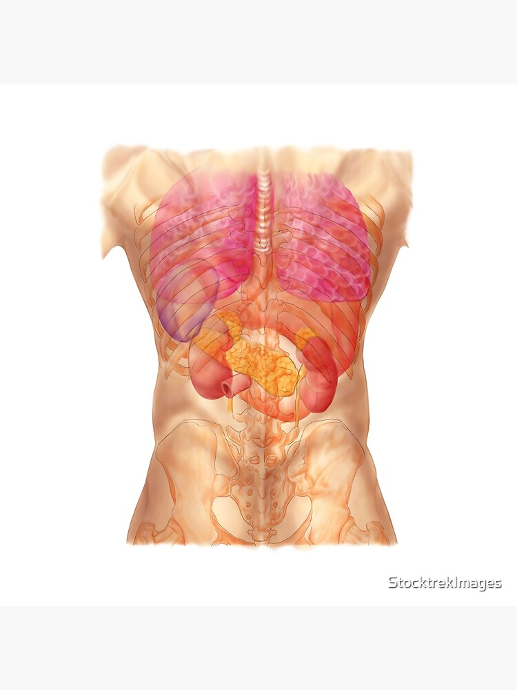 Abdominal Quadrants With Internal Organs And Rib Cage Greeting Card By Stocktrekimages Redbubble
