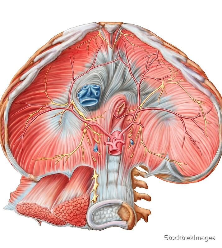Magnífico Proceso De Xifoides Ilustración - Imágenes de Anatomía ...