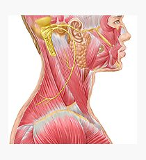 Accessory nerve view showing neck and facial muscles. Photographic Print