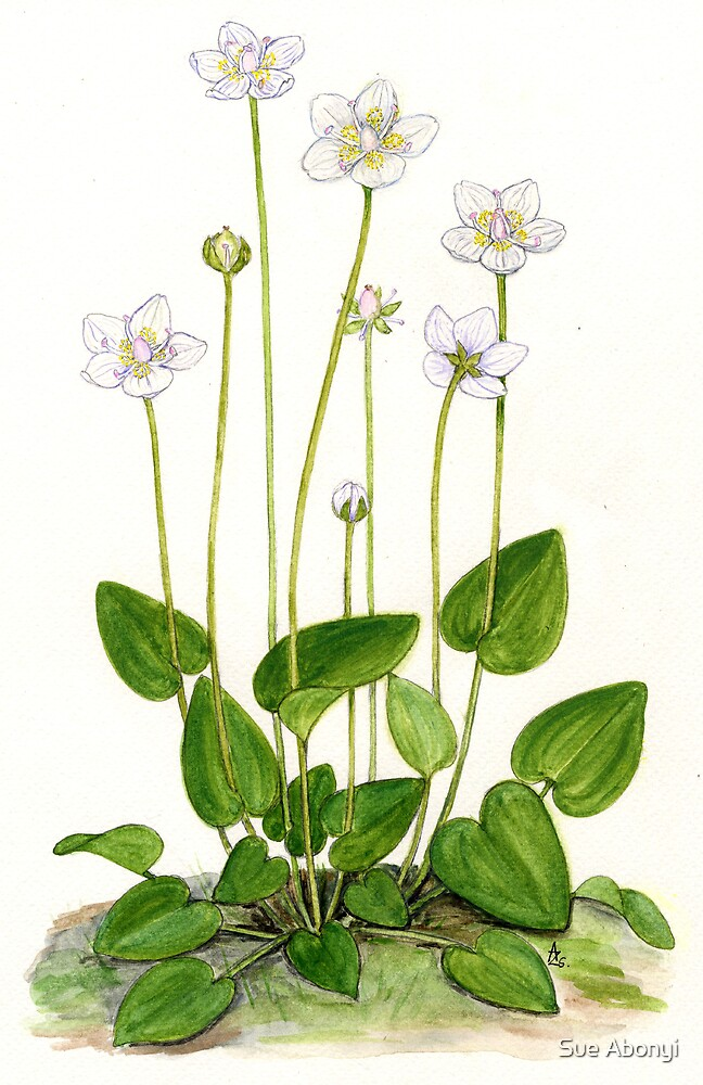 Grass of Parnassus - Parnassia palustris by Sue Abonyi