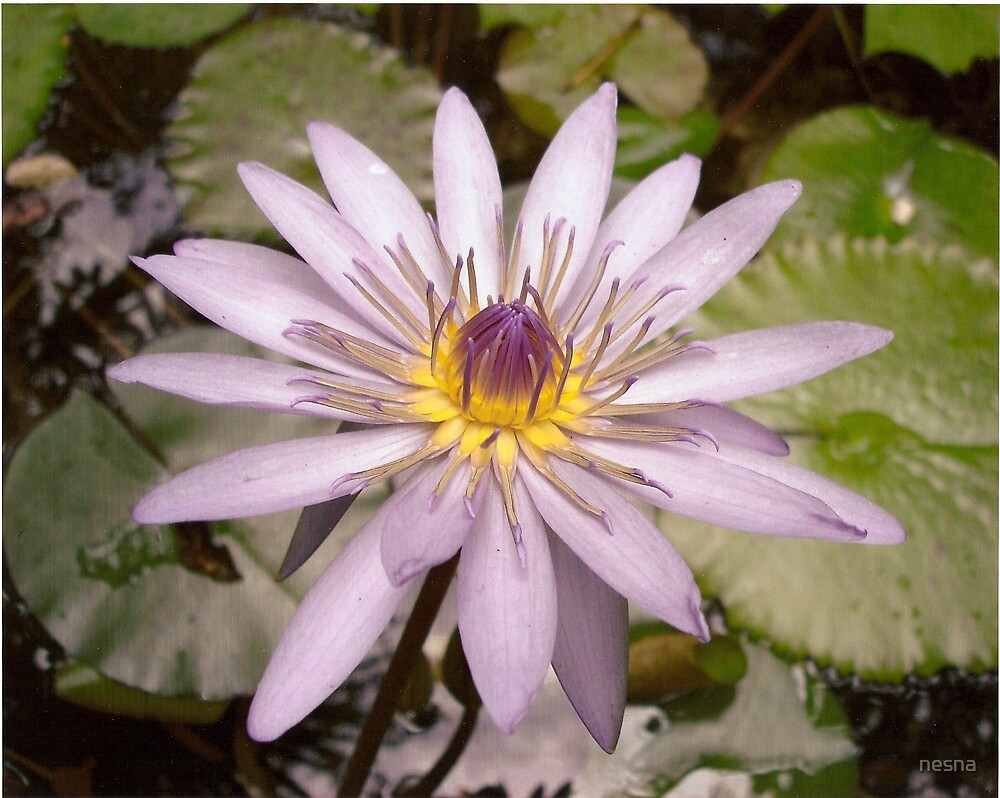 Water Lily by nesna