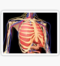 Human rib cage with lungs and nervous system. Sticker