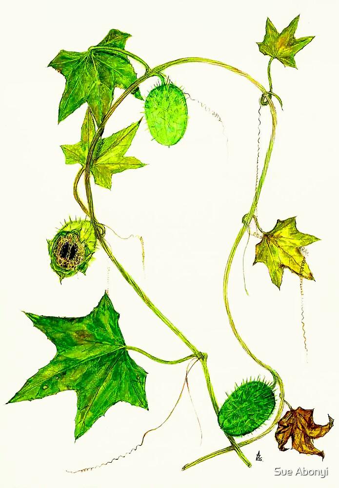 Wild Balsam Apple - Echinocystis lobata by Sue Abonyi