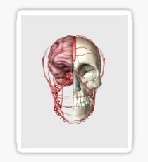 Transectional view of human skull showing half brain with veins. Sticker