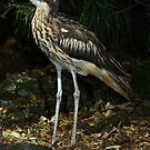 Bush thick knee. by masterpiececreations