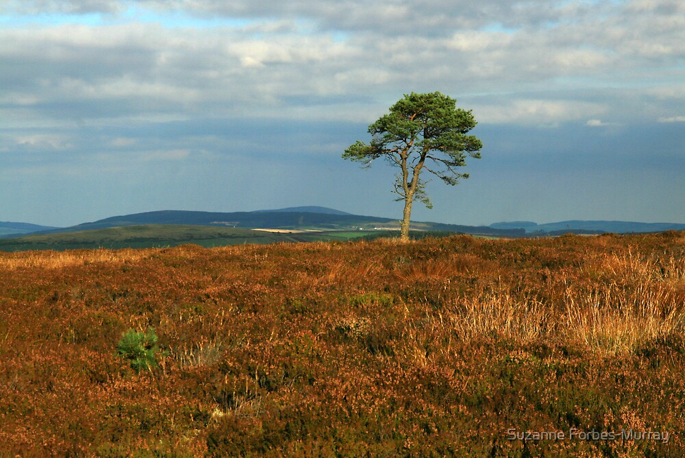 heather and lone tree by Suzanne Forbes-Murray