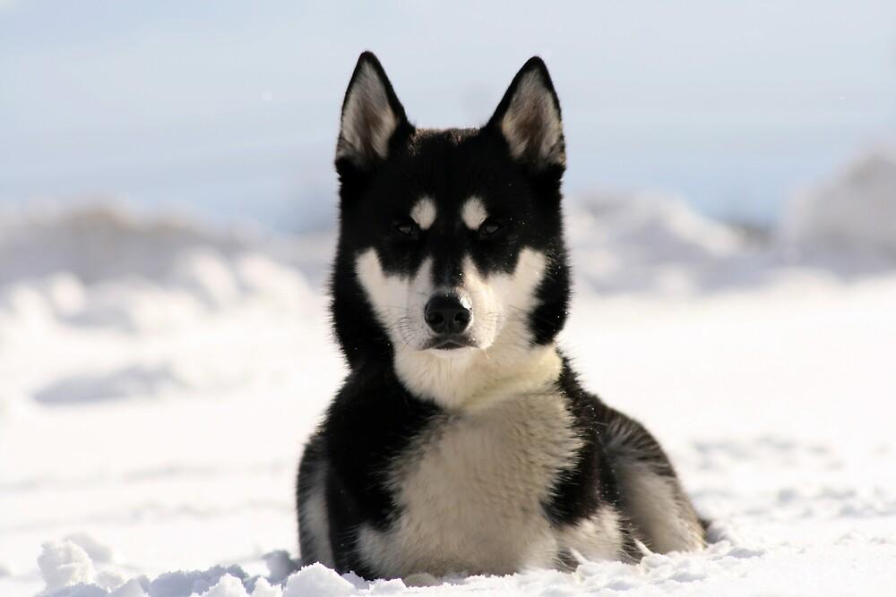 Husky in Snow by Hayley Evans