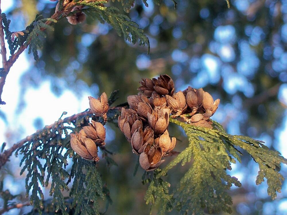 Cedar Branch by Gene Cyr