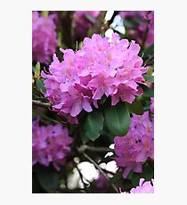 Rhododendron Beauty Photographic Print