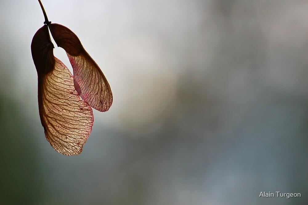 Maple tree seeds by Alain Turgeon