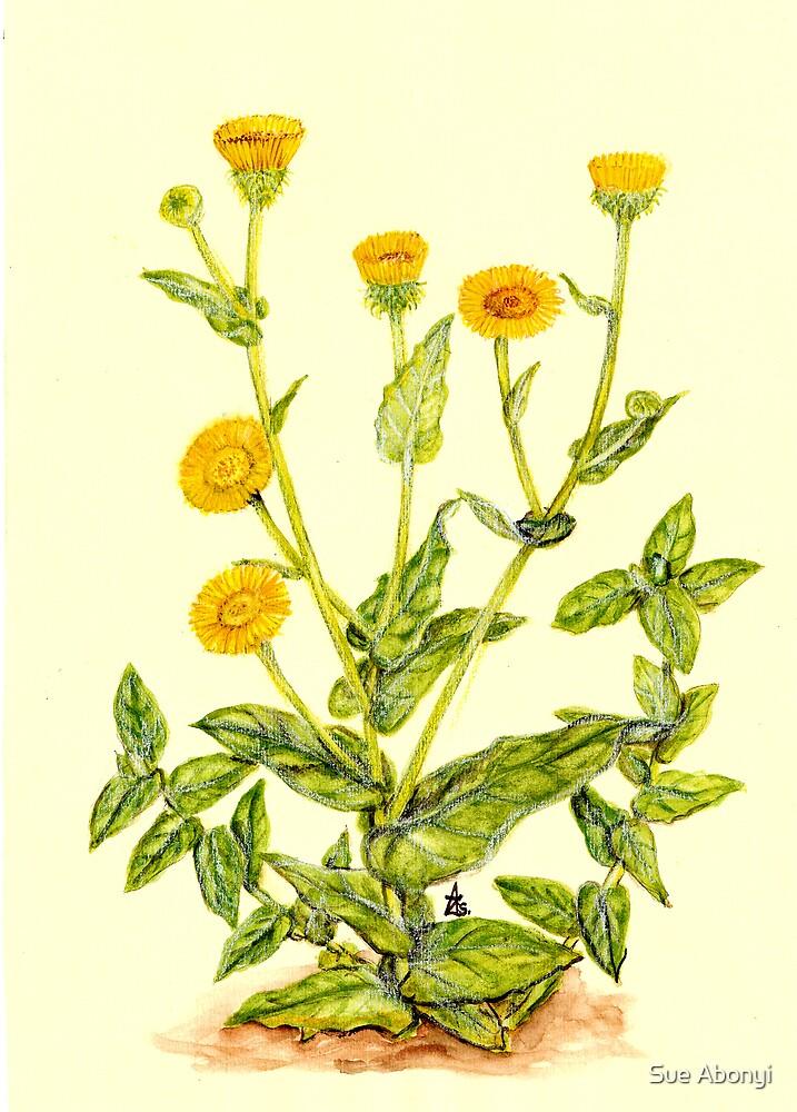 Common Fleabane - Pulicaria dysenterica by Sue Abonyi