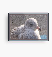 Freckled Gull Metal Print