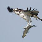 Osprey by Sam Hanie