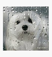 Snowdrop the Maltese - Spring Showers Photographic Print