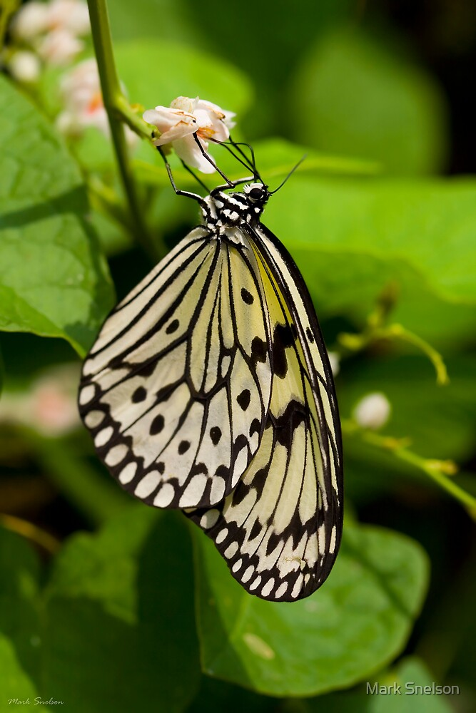 Rice Paper Butterfly 1 by Mark Snelson