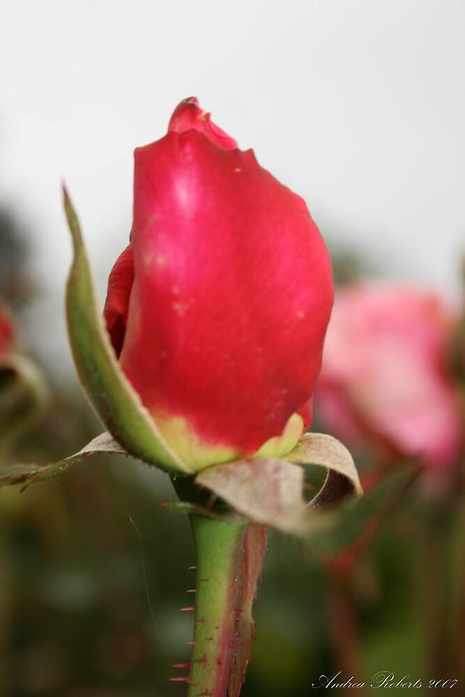 rose bud by andyruh