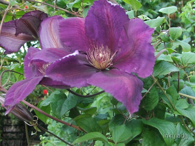 Purple clematis 2  by inkylady