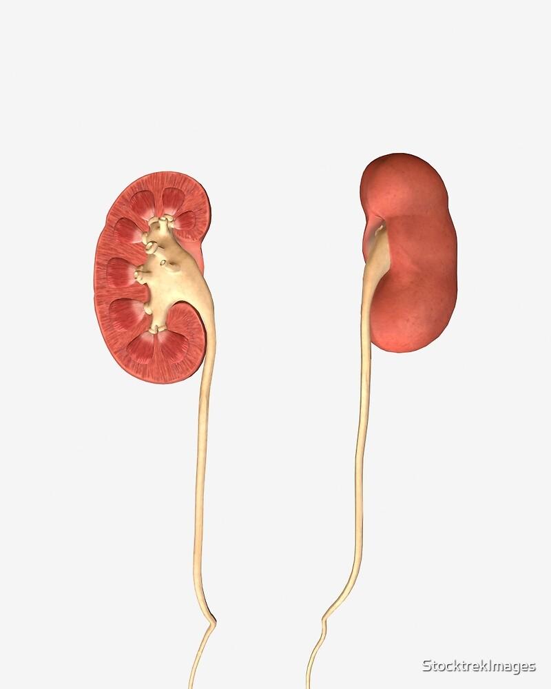 Imagen conceptual de los riñones que muestran la pelvis renal y el ...