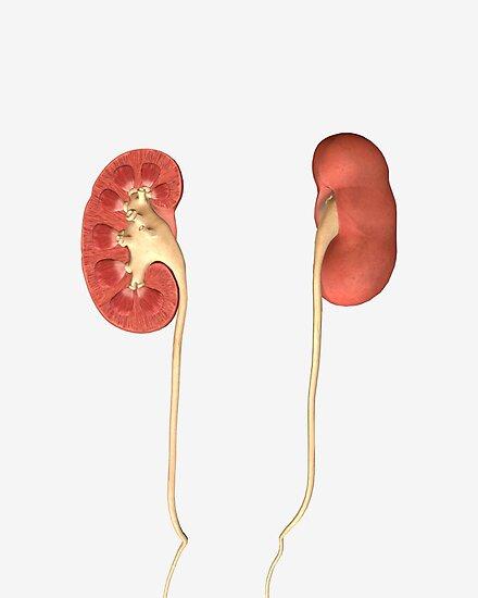 Láminas fotográficas «Imagen conceptual de los riñones que muestran ...