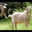 Safety Harbor ~ Australian Billy Goats by Lisa Hildwine