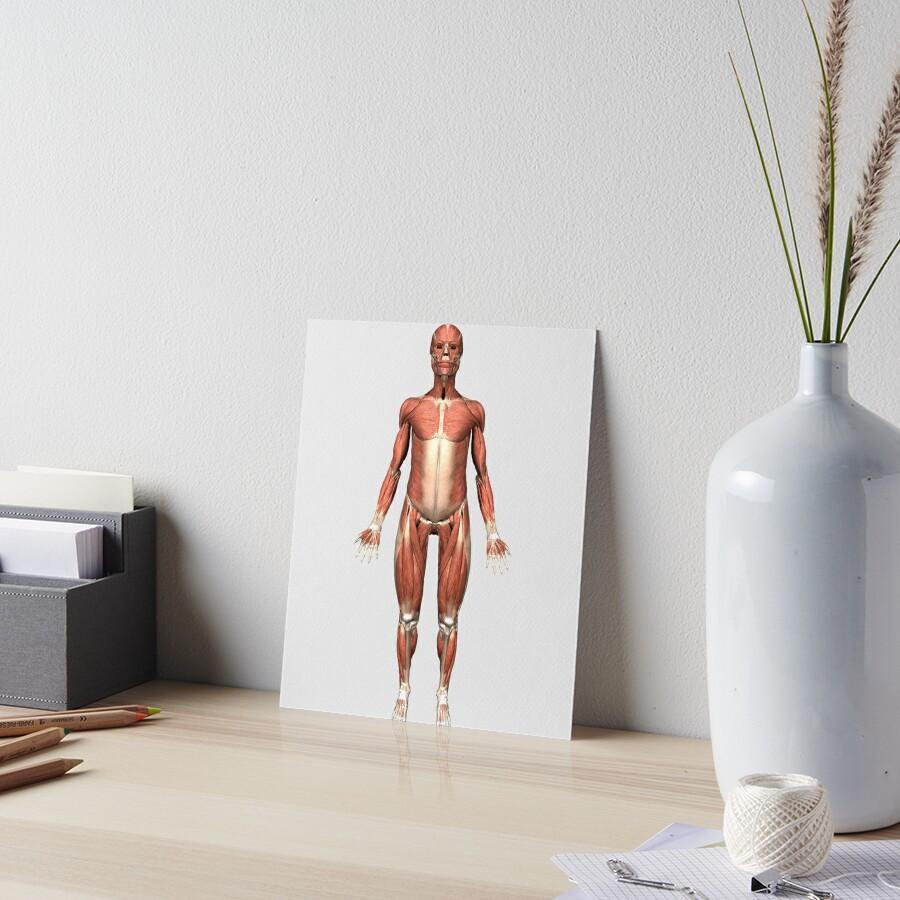 Láminas de exposición «Vista frontal del sistema muscular humano ...