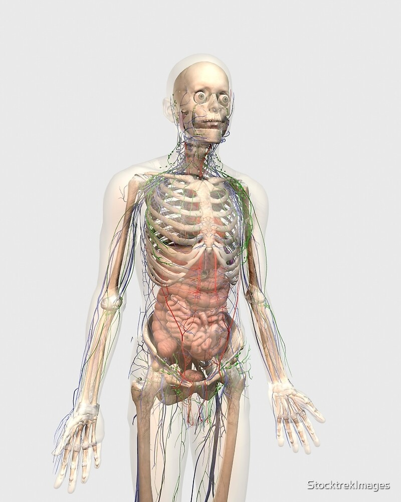 Human Body With Internal Organs Lymphatic System And Circulatory