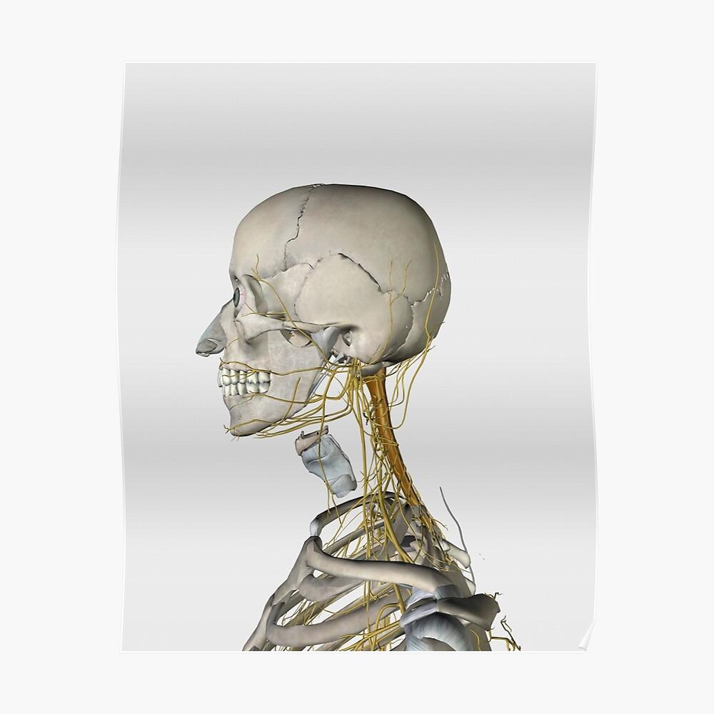 Medical Illustration Showing Thyroid Cartilage And Nerves Around