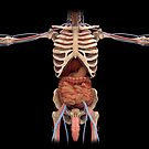3D rendering of digestive system and male reproductive system. by StocktrekImages