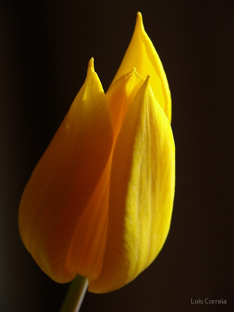 Yellow tulip by Luis Correia