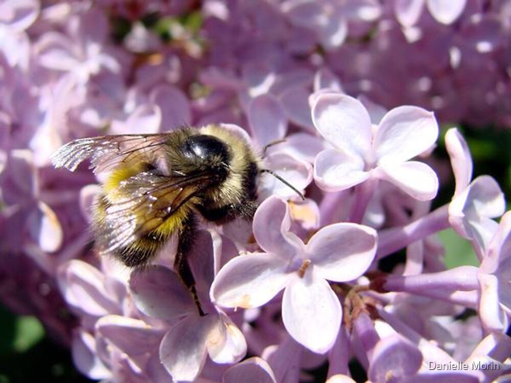 Bee on a Lilac by Danielle Morin