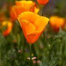 California Poppy by Eyal Nahmias